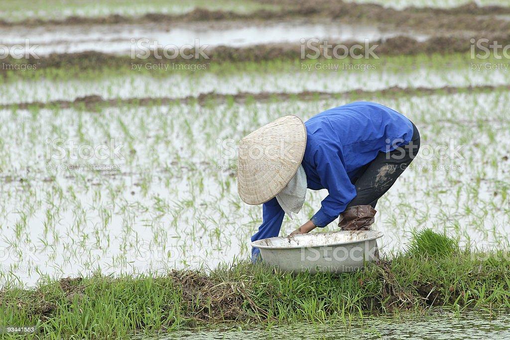 Pflanzen-Reis Lizenzfreies stock-foto