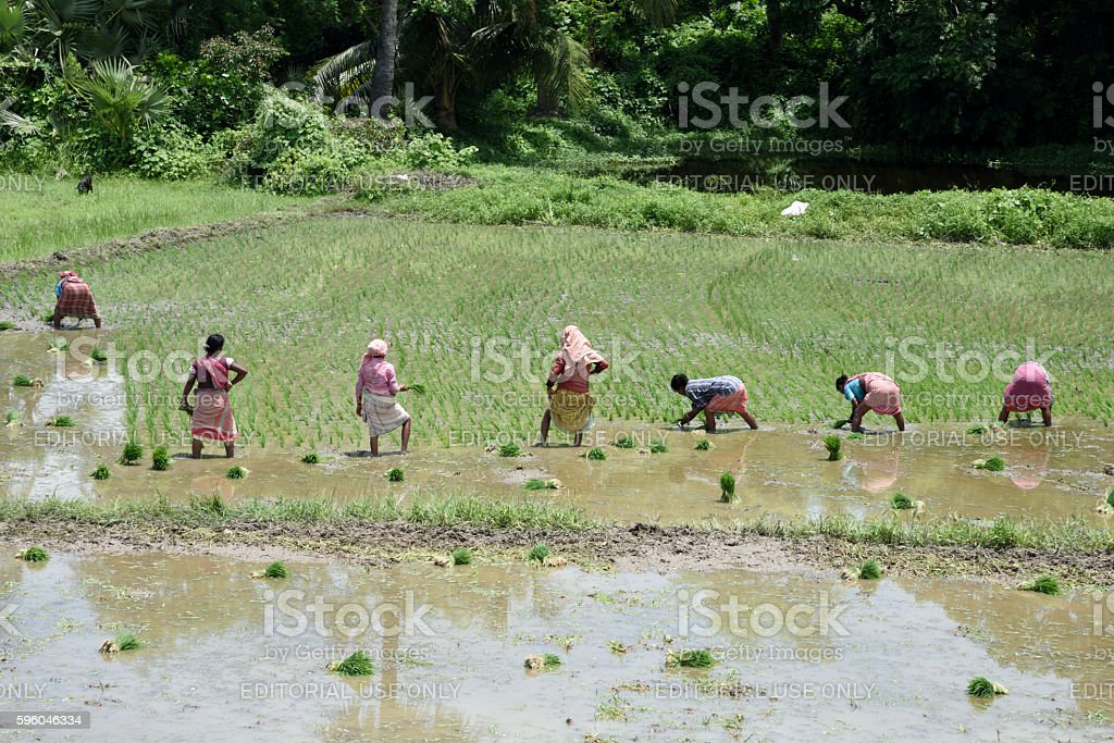 planting rice seedlings in the rice paddy royalty-free stock photo