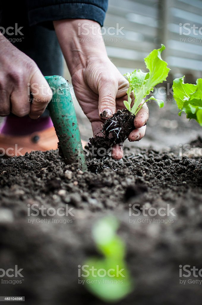 Planting salad stock photo