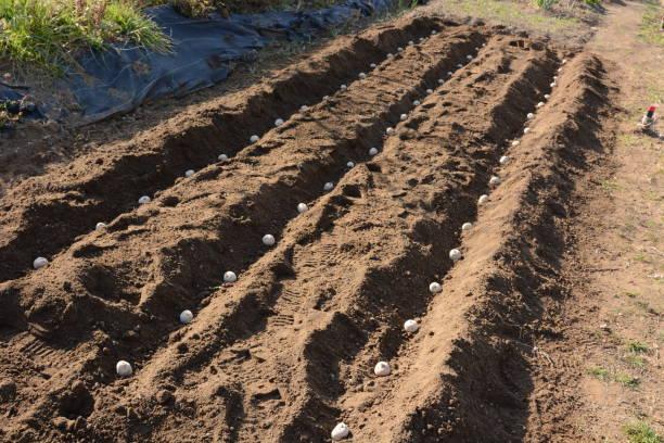 Planting seed potatoes – zdjęcie