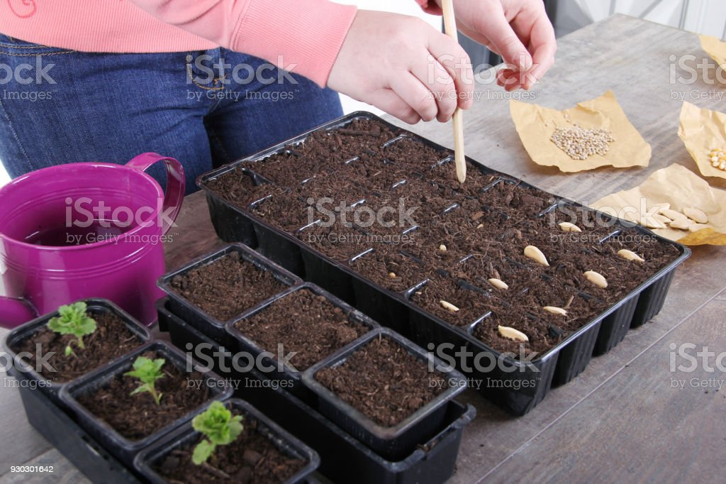 planting seeds in greenhouse stock photo