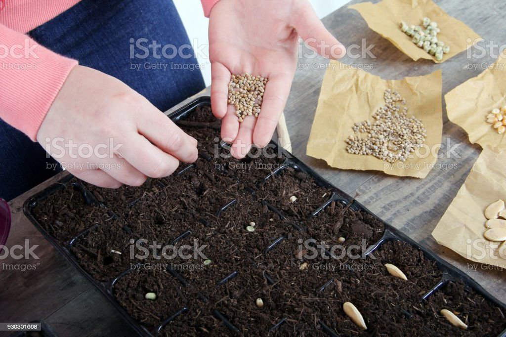 planting spinach seeds stock photo