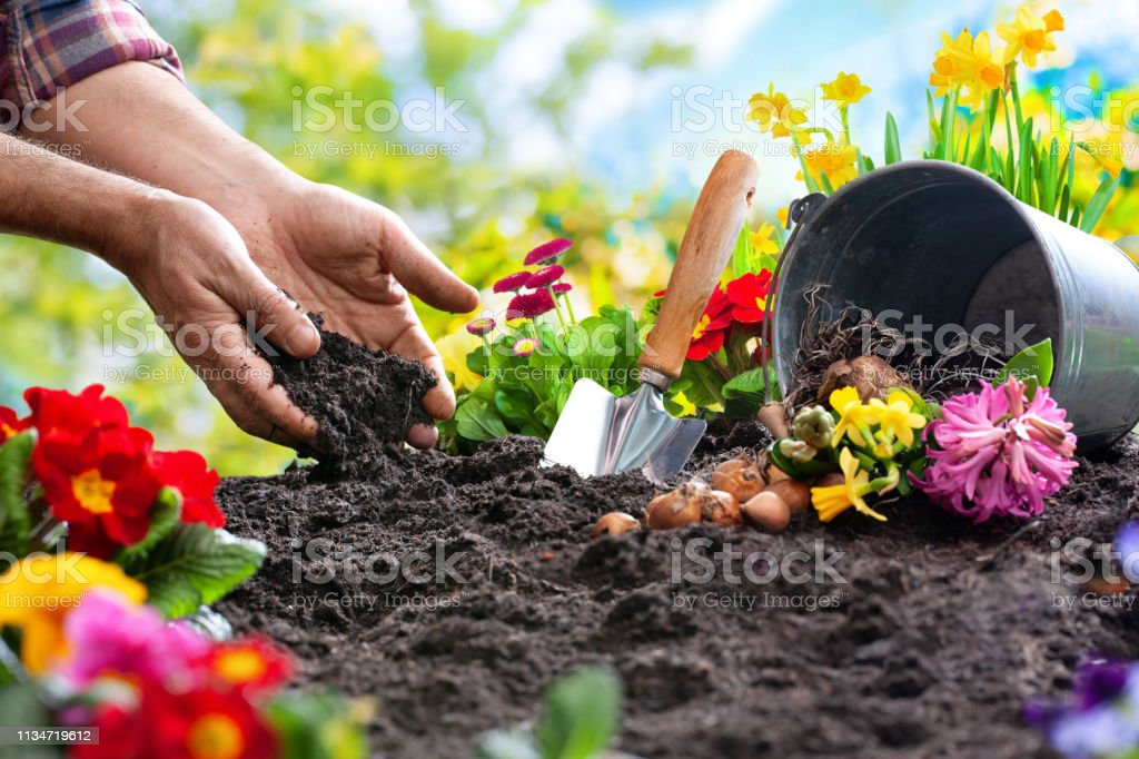 Planting spring flowers in the garden Planting spring flowers in sunny garden Agriculture Stock Photo