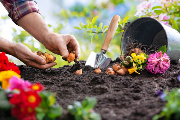 Planting spring flowers in the garden Planting spring flowers in sunny garden potting stock pictures, royalty-free photos & images