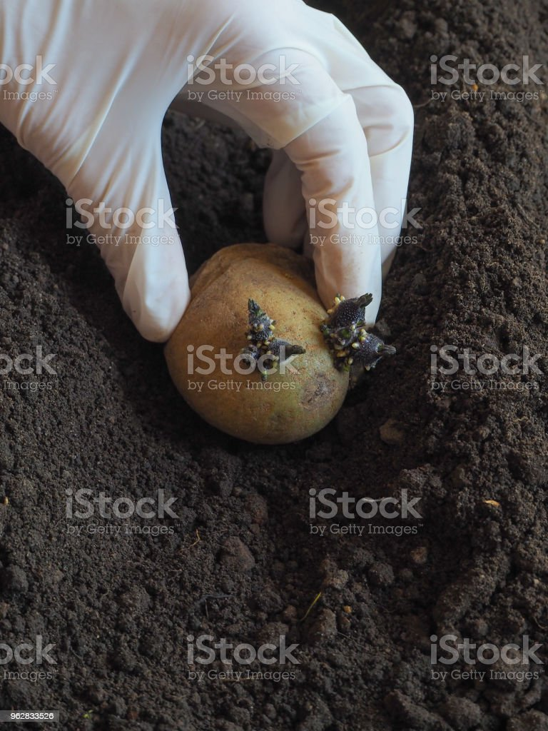 Planting sprouted tubers of potatoes in the ridges. Planting potatoes. - Foto stock royalty-free di Agricoltore