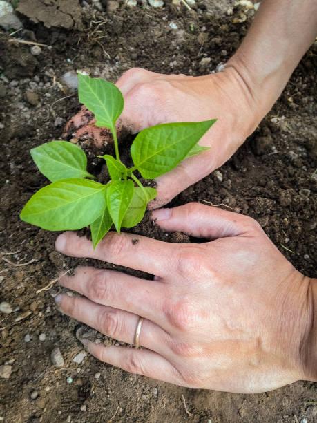 Planting Starts stock photo