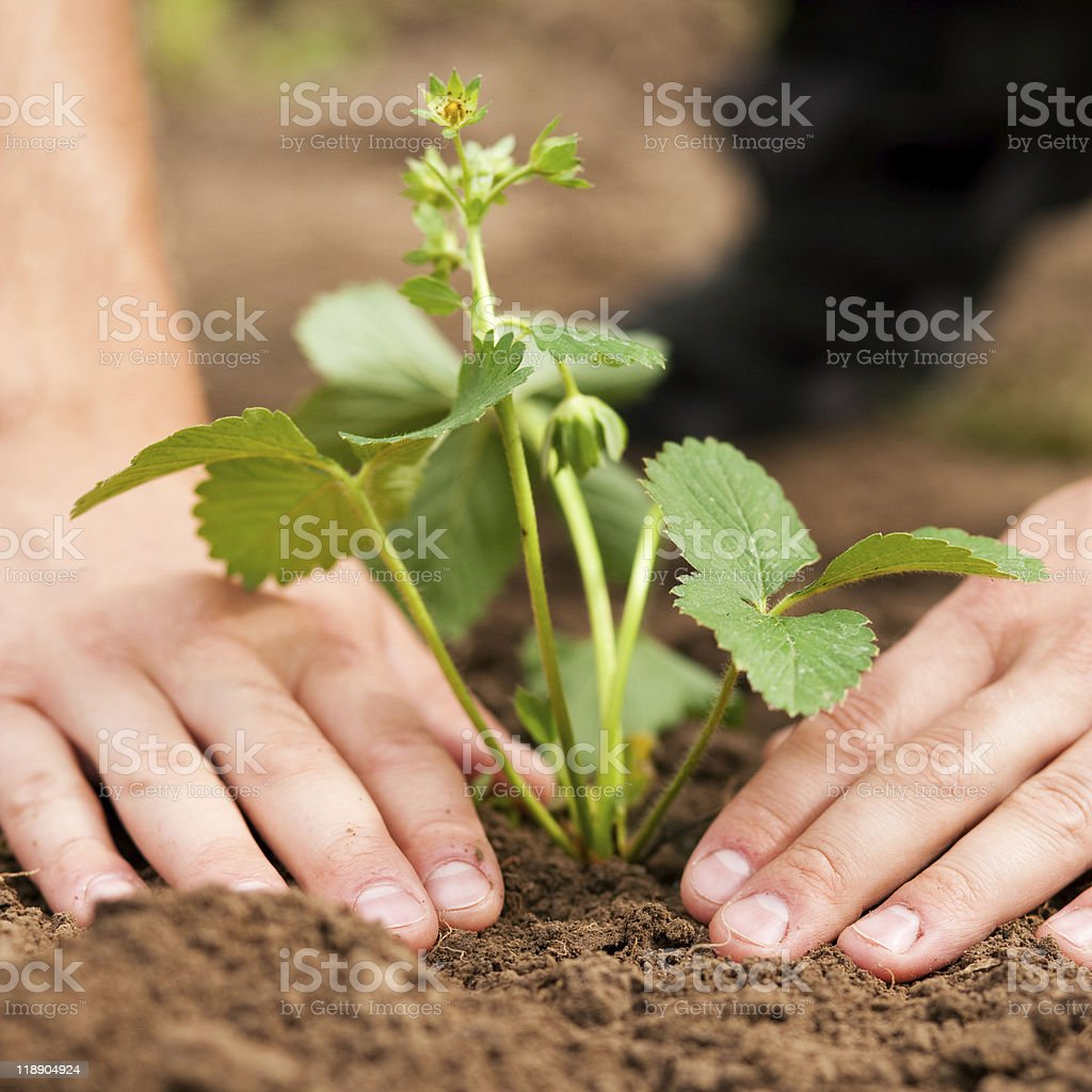 Planting strawberries in garden stock photo