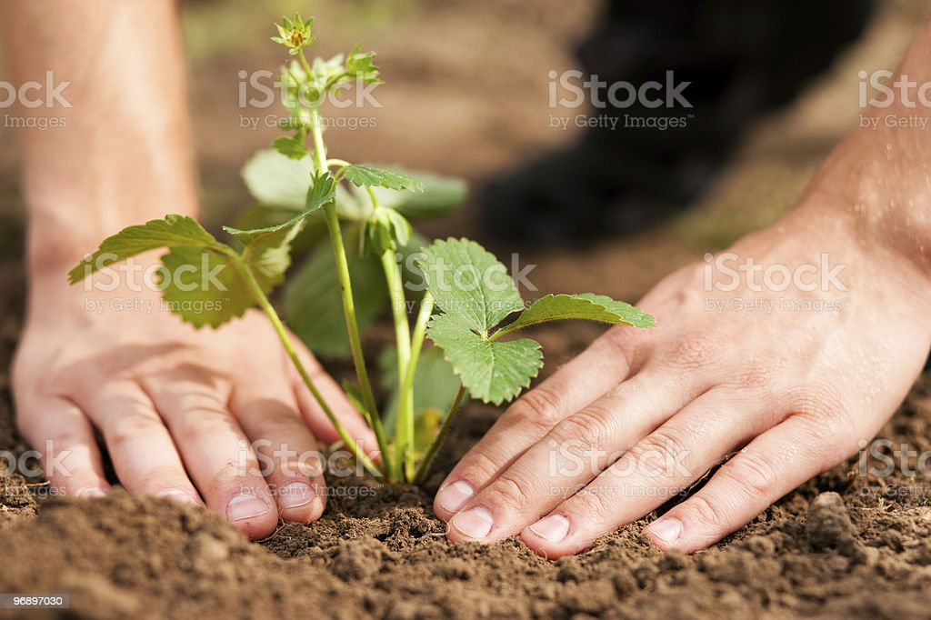 Planting strawberries in garden royalty-free stock photo