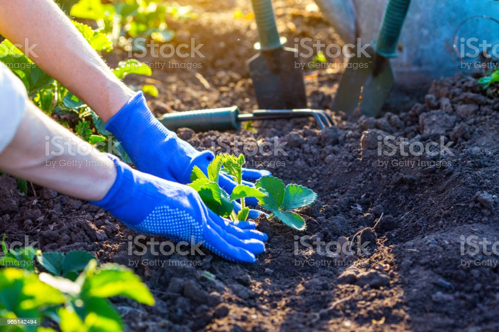 planting strawberries in the garden royalty-free stock photo