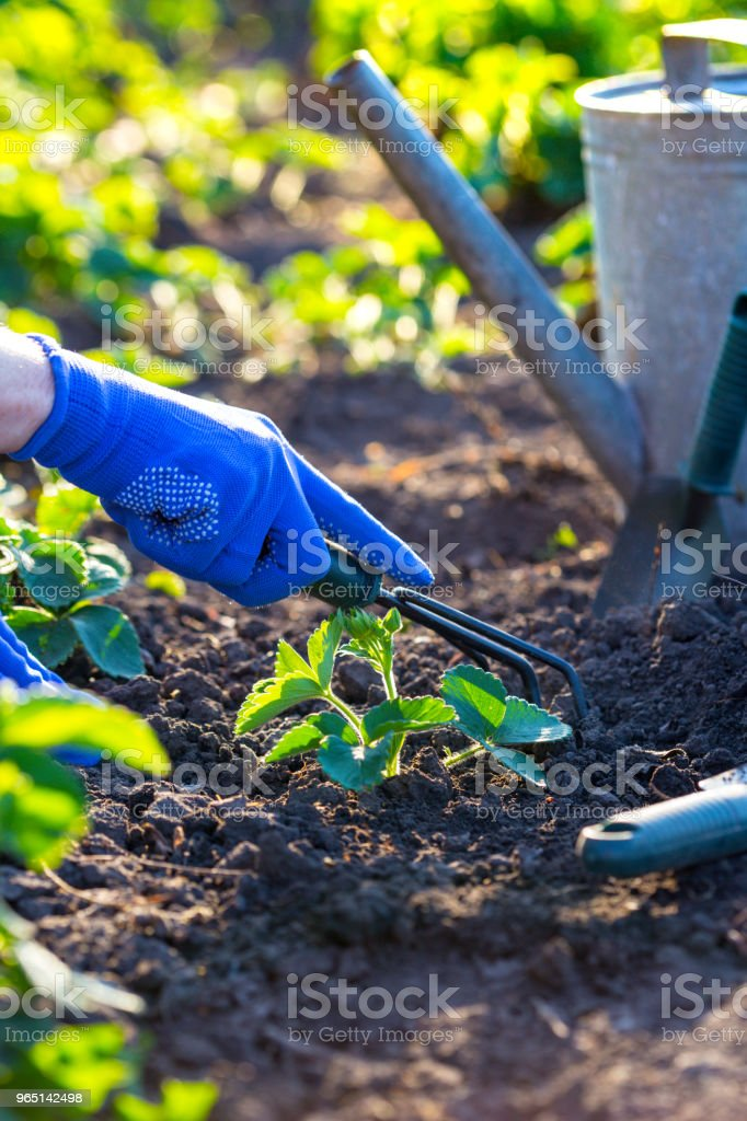 planting strawberries in the garden zbiór zdjęć royalty-free