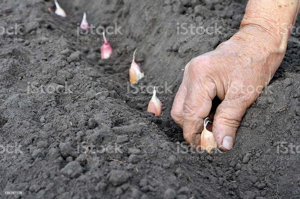 planting the garlic royalty-free stock photo