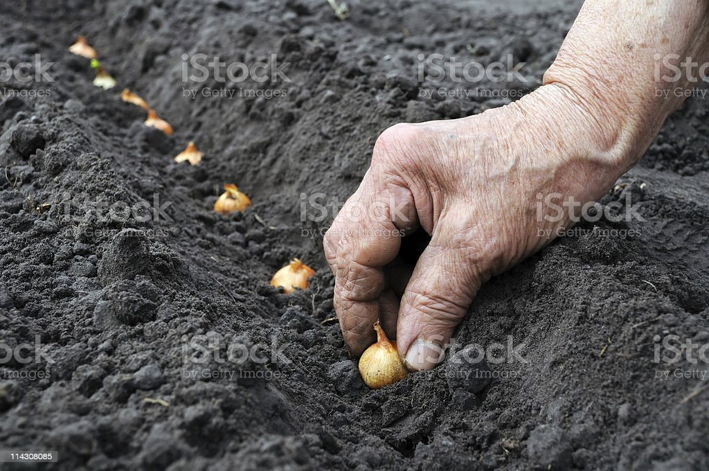 planting the onion stock photo