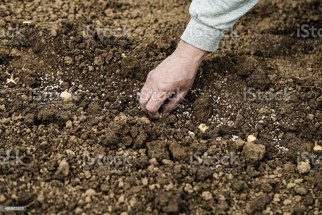 planting the onion royalty-free stock photo