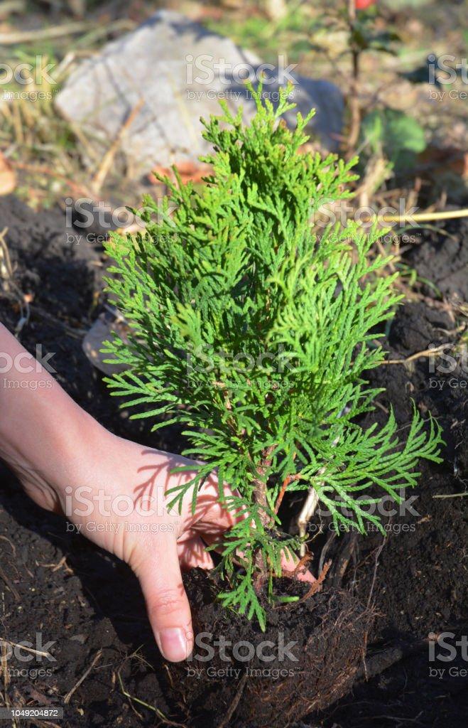 Het planten van thuja. Tuinman handen planten cypress boom, thuja met wortels (Thuja Occidentalis) foto