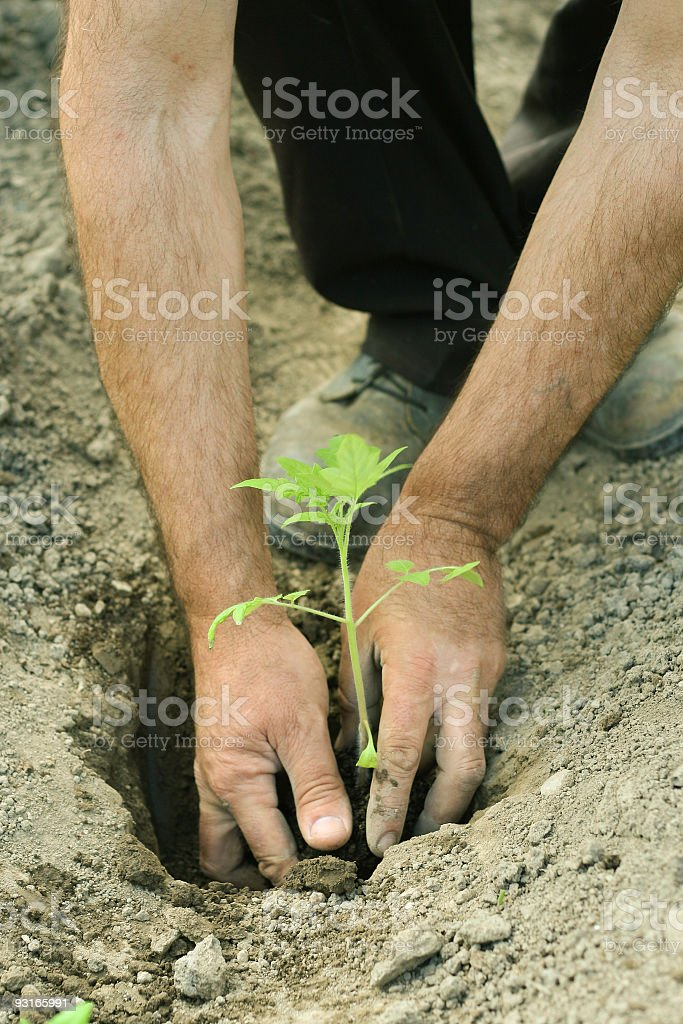 planting tomato seedlings royalty-free stock photo
