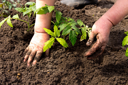 637583458 istock photo Planting tomato seedlingsFarmers, retired planting in the ground Green sprout. The concept of farming and business growth. 954207172
