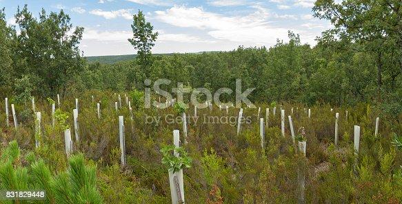 Planting trees in oak forest protection tubes with greenhouses for growing animals and adverse weather front - Plantacion de arboles, en bosque de robles, con tubos invernaderos de proteccion para el crecimiento frente  animales y climatologia adversa