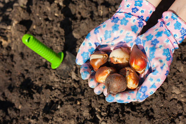 Planting tulip bulb Gloved hands holding tulip bulbs before planting in the ground plant bulb stock pictures, royalty-free photos & images