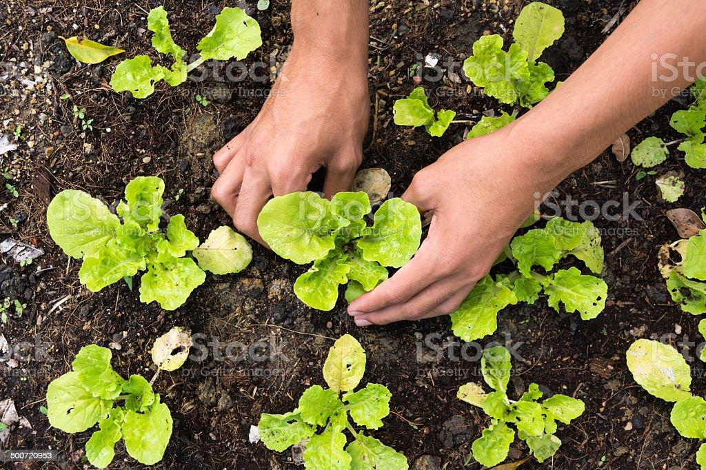 Pflanzen Gemüsegarten – Foto