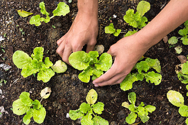 Pflanzen Gemüse im Garten – Foto