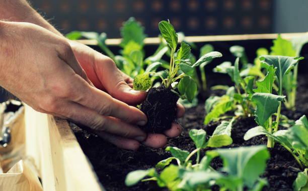 sadzenie sadzonek warzyw, takich jak kalarepa i rzodkiewki w podniesionym łóżku na balkonie - kapustowate zdjęcia i obrazy z banku zdjęć