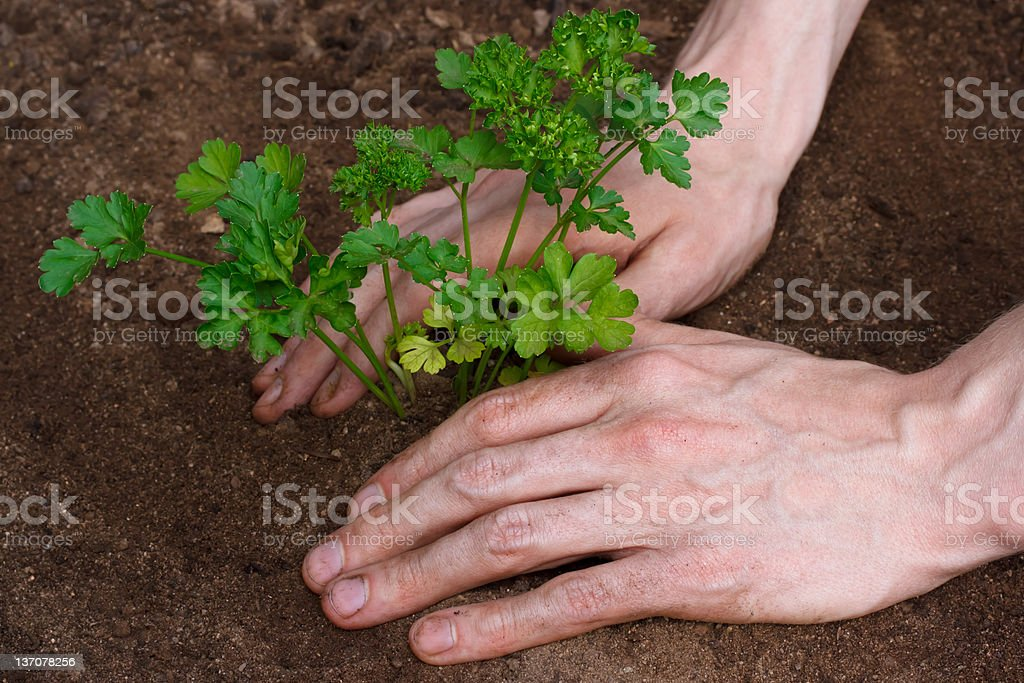 Planting young parsley royalty-free stock photo