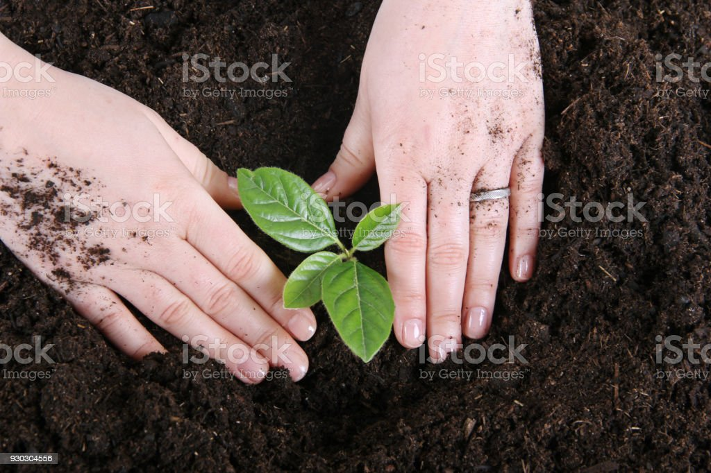 planting young tree stock photo