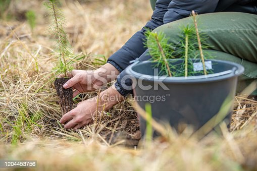 Planting young trees in the forest after devastating blaze and drought.