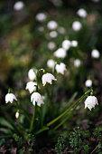 Plants and Flowers: a group of snowdrop, Leucojum Vernum