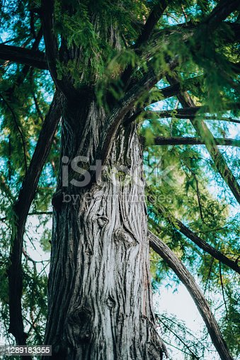 Plants and Flowers: bark of a sequoia plant - Sequoia Sempervirens - Cupressaceae