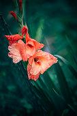 Plants and Flowers: Gladiolus flowers, Gladiolus Communis - Iridaceae