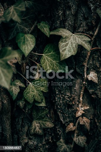 Plants and Flowers:  Ivy plant - Hedera Helix