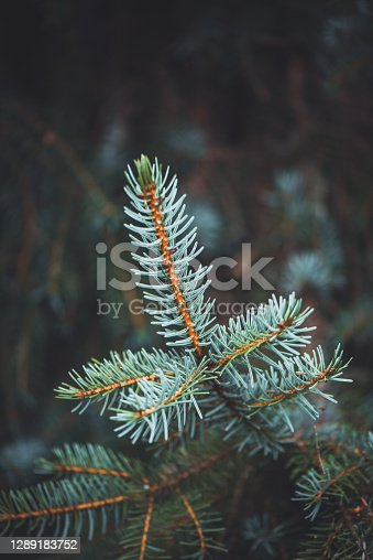 Plants and Flowers: macro photography of Colorado spruce leaves - Picea Pungens - Pinaceae