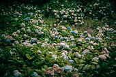 Plants and Flowers: thick bushes of hydrangeas - Hydrangeaceae