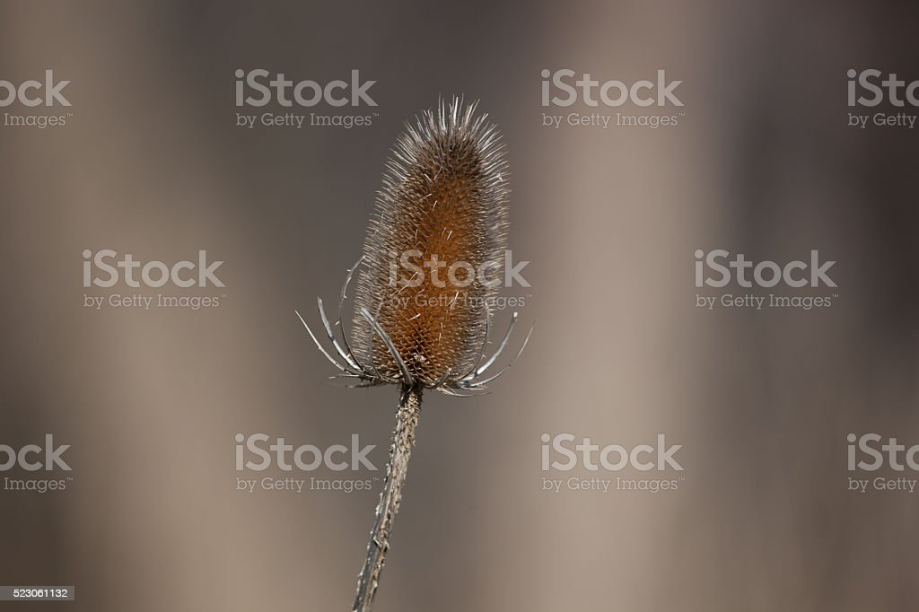 Plants and Nature - Autumn Thistle stock photo
