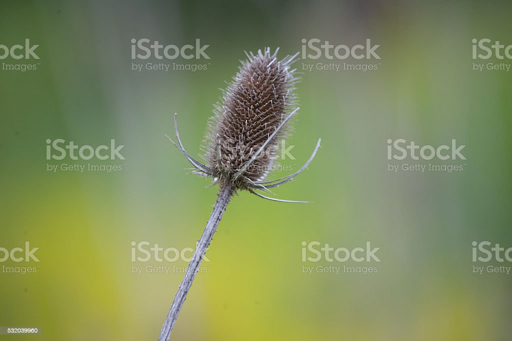 Plants and Nature - Spring Thistle stock photo