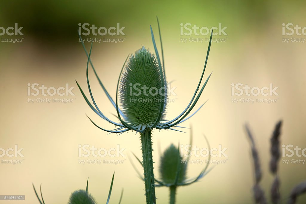 Plants and Nature - Summer Thistle stock photo