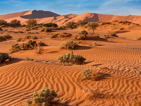 The red, windswept sand of Sossusvlei, in the Namib Desert, Namibia, where deep-rooted vegetation has adapted to survive the harsh conditions. The largest sand dune in the park, known as Dune 45, or Big Daddy, is visible in the background, set against a clear blue sky.