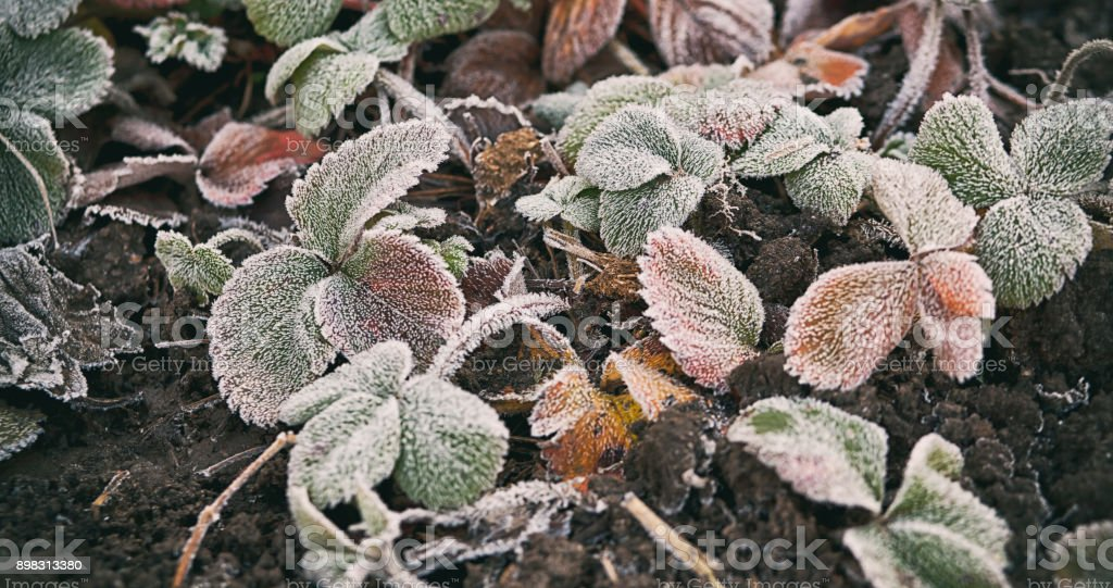 Pflanzen sind mit Frost überzogen. – Foto