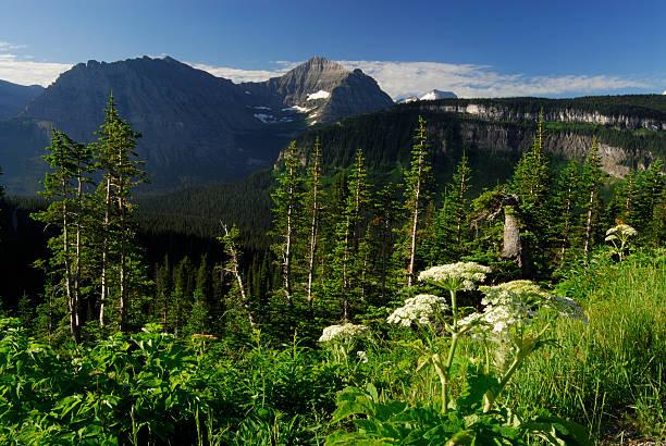 plants at glacier national park - british columbia glacier national park stock pictures, royalty-free photos & images