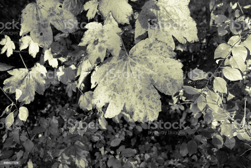 Plants: Autumnal maple leaves stock photo