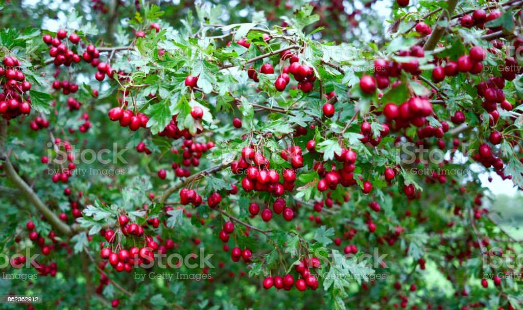 Plants: Close-up of a hawthorn shrub with small red pome fruit stock photo