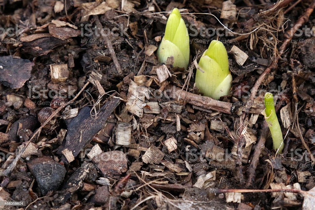 Plants Emerging from the Ground royalty-free stock photo