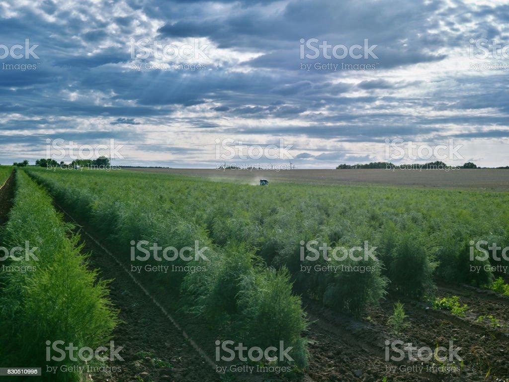 Las plantas: Campo plantas jóvenes espárragos - foto de stock