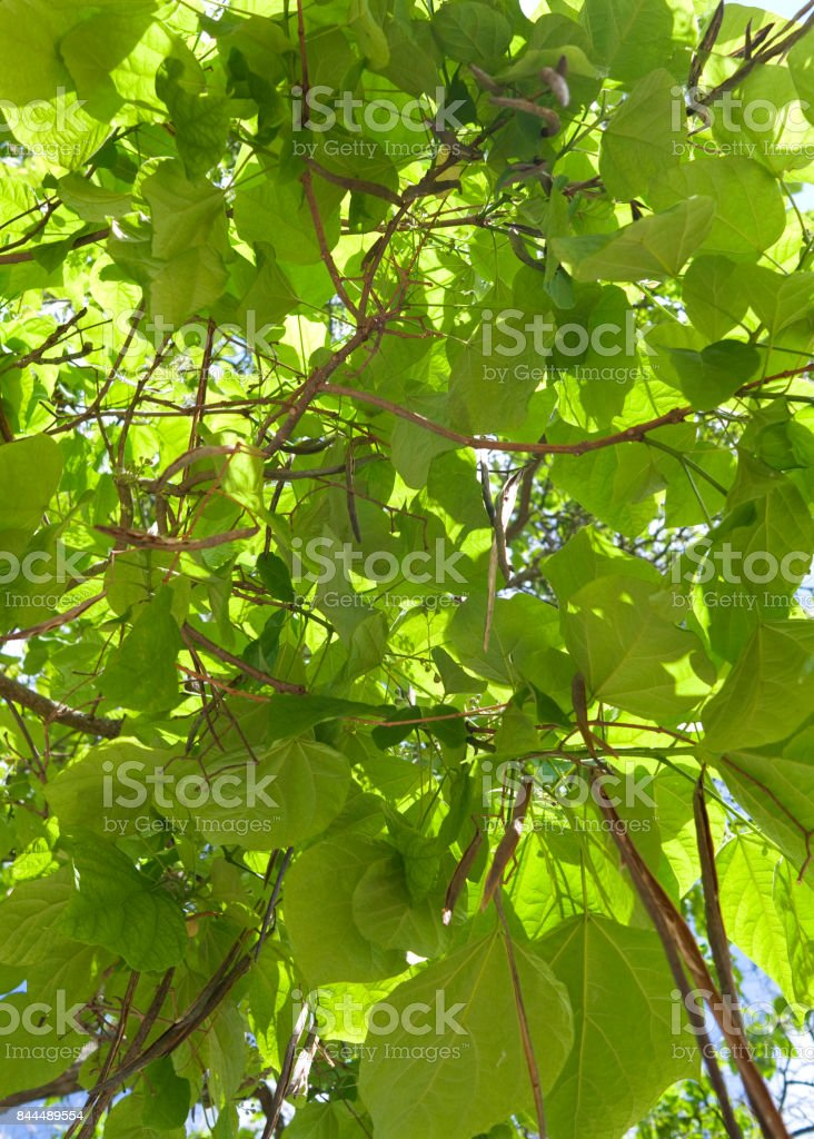Plants: Foliage and bean pods of the northern catalpa tree stock photo