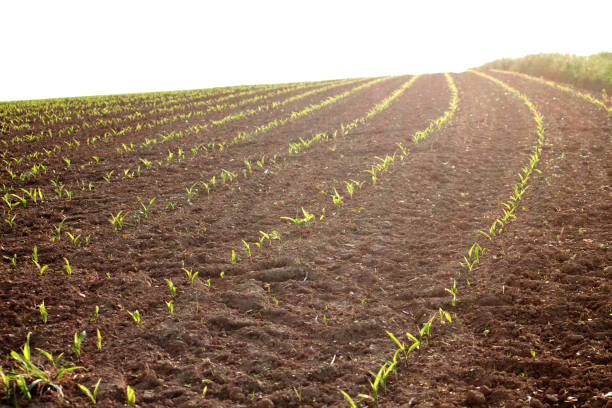 Plants grow on field, Farming order a field stock photo