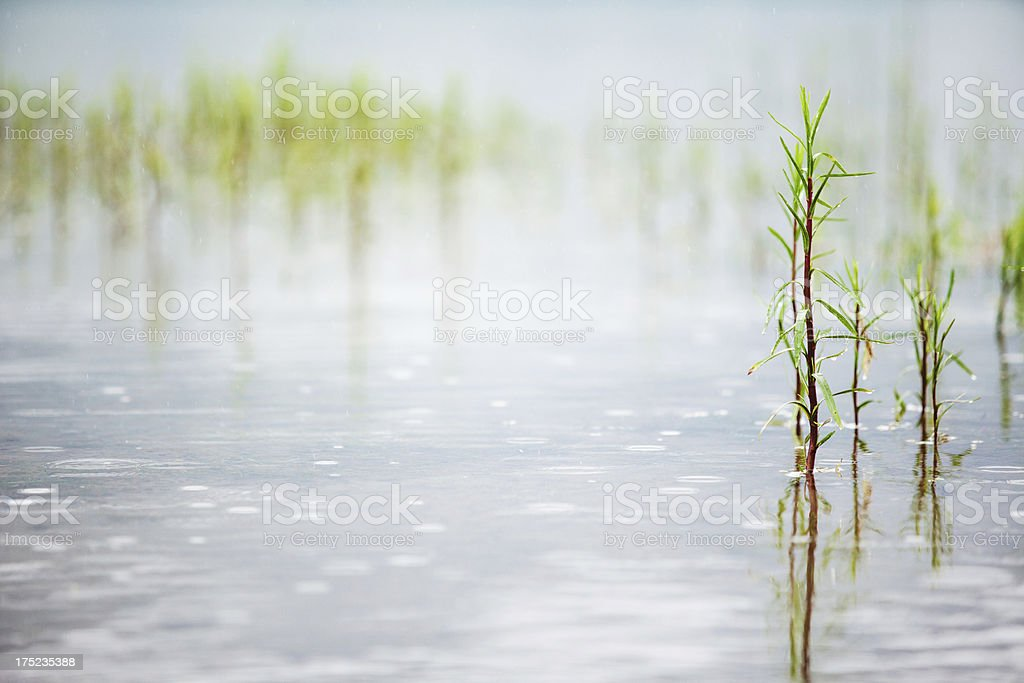 Plants growing in water royalty-free stock photo
