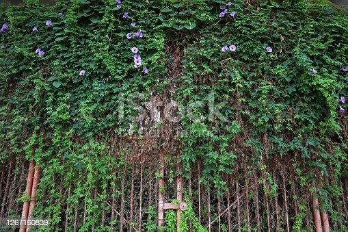 Plants growing on old iron gate of ancient castle.