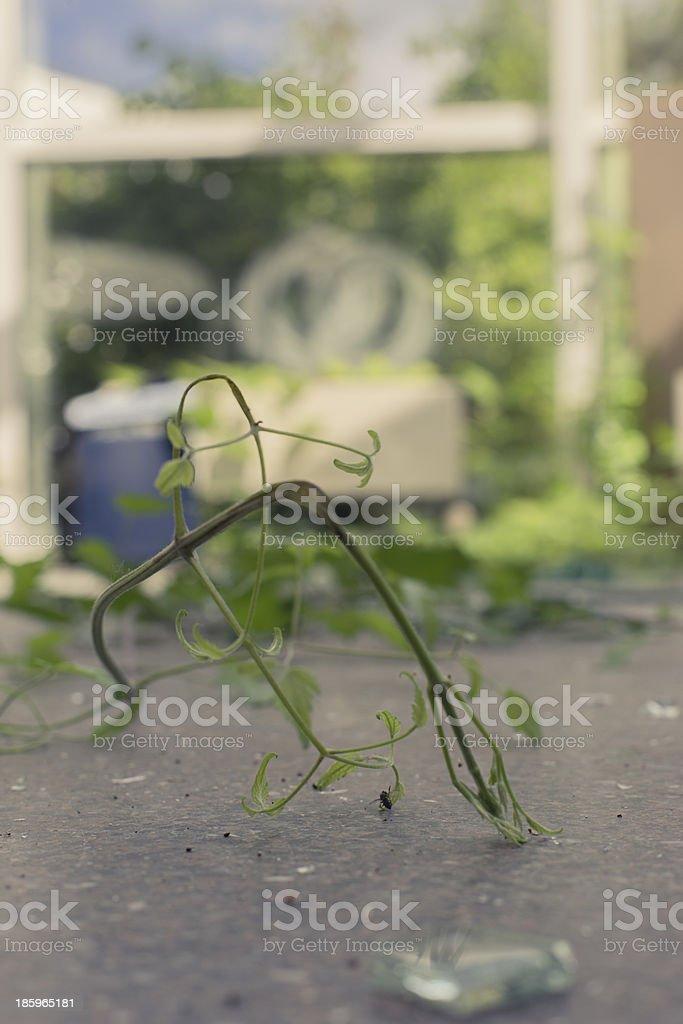 plants growing through a broken window royalty-free stock photo