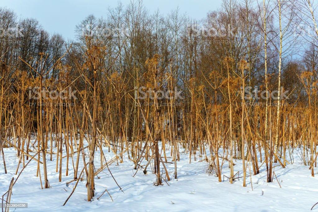 planten in de winter forest Berenklauw foto